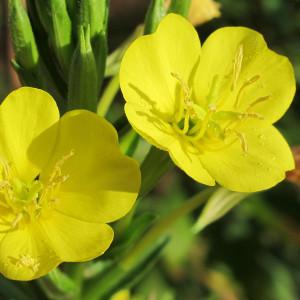 Buy Oenothera biennis 'Evening Primrose'   Potted Herb Plant   Hooksgreen Herbs
