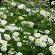 Buy Tanacetum parthenium 'Flore Pleno' Feverfew Double-flowering   Herb Plant for Sale in 9cm Pot