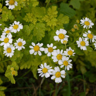 Buy Tanacetum parthenium 'Aureum' Feverfew Golden | Buy Herb Plant Online in 9cm Pot