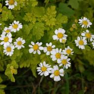 Buy Tanacetum parthenium 'Aureum' Feverfew Golden | Buy Herb Plant Online in 9cm Pot