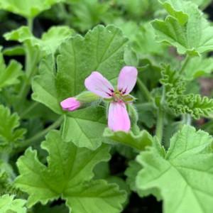 Pelargonium 'Attar of Roses'( Geranium 'Attar of Roses') | Herb Plant for sale online