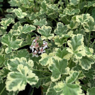 Buy Pelargonium fragrans 'Fragrans Variegatum' Geranium Fragrans Variegatum | Buy Herb Plant Online in 1 Litre Pot