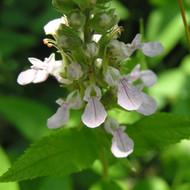 Buy Teucrium x lucidrys (Hedge Germander) Herb Plant    Herb Plant for Sale in 1 Litre Pot