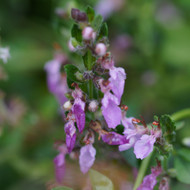 Buy Teucrium chamaedrys 'Germander Wall' Wall Germander   Buy Herb Plant Online in 1 Litre Pot