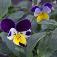 Buy Viola tricolor Heartsease | Buy Herb Plant Online in 9cm Pot