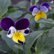 Buy Viola tricolor Heartsease | Buy Herb Plant Online in 9cm Pot