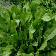Buy Armoracia rusticana Horseradish   Herb Plant for Sale in 1 Litre Pot