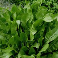 Buy Armoracia rusticana Horseradish | Herb Plant for Sale in 1 Litre Pot
