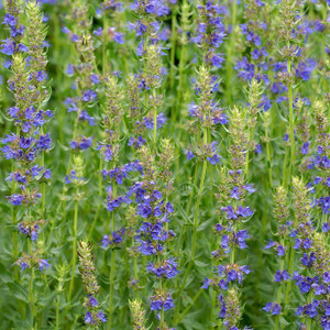 Buy Hyssopus Officinalis 'Blue Hyssop' | Herb Plant for Sale in 1 Litre Pot