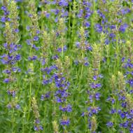 Buy Hyssopus Officinalis 'Blue Hyssop'   Herb Plant for Sale in 1 Litre Pot