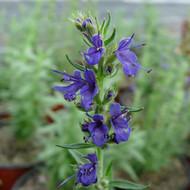 Buy Hyssopus officinalis subsp. aristatus Hyssop Rock | Buy Herb Plant Online in 1 Litre Pot