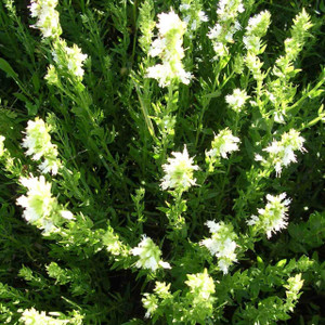Buy Hyssopus officinalis f. albus Hyssop White | Buy Herb Plant Online in 1 Litre Pot