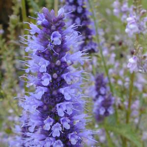 Buy Agastache rugosa Korean Mint Purple   Potted Herb Plant   Hooksgreen Herbs