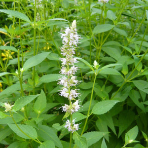 Buy Agastache rugosa Korean Mint White | Herb Plant for Sale in 1 Litre Pot