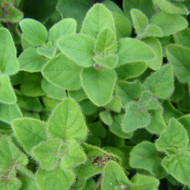 Buy Origanum majorana syn. Marjorana horte Marjoram Sweet | Buy Herb Plant Online in 9cm Pot