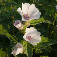 Buy Althaea officinalis 'Mallow' | Potted Herb Plant | Hooksgreen Herbs