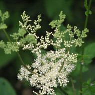 Buy Filipendula ulmaria Meadowsweet | Potted Herb Plant | Hooksgreen Herbs