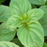 Buy Mentha x piperita f. citrata 'Basil' Mint, Basil | Herb Plant for Sale in 9cm Pot