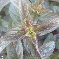 Mentha x piperita (Black Peppermint) Herb Plant  Buy Herb Plant