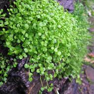 Buy Mentha requienii, Corsican Mint | Buy Herb Plant Online in 9cm Pot