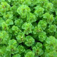 Buy Mentha spicata var. crispa, Curly spearmint | Buy Herb Plant Online in 9cm Pot