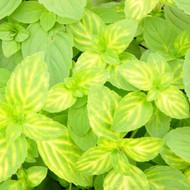 Buy Mentha x gracilis 'Variegata', Ginger Mint | Herb Plant for Sale in 9cm Pot