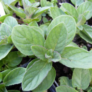 Buy Mentha x piperita f. citrata 'Lemon', Lemon Mint | Herb Plant for Sale in 9cm Pot