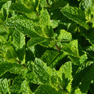 Buy Mentha spicata var. crispa 'Moroccan', Moroccan Mint | Herb Plant for Sale in 9cm Pot
