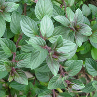 Buy Mentha x piperita f. citrata 'Chocolate', Chocolate Peppermint | Herb Plant for Sale in 9cm Pot