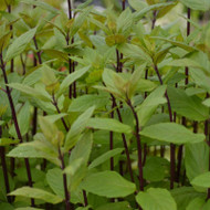 Buy Mentha x smithiana syn. M. rubra, Red Mint   Herb Plant for Sale in 9cm Pot