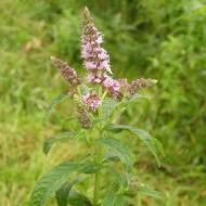 Buy Mentha longifolia, Silver Mint   Herb Plant for Sale in 9cm Pot