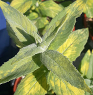 Mentha longifolia variegata, (Variegated Silver Mint)Herb Plant | Buy online