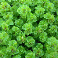 Buy Mentha spicata 'Tashkent', Mint Tashkent | Herb Plant for Sale in 9cm Pot