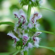 Buy Leonurus cardiaca Motherwort | Potted Herb Plant | Hooksgreen Herbs