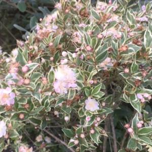 Myrtus communis 'Varigata' (Variegated Myrtle )Herb Plant | Buy herb plant online in 1 Litre Pot