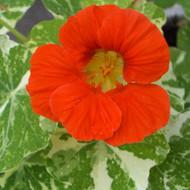 Buy Tropaeolum majus Alaska Series (V), Nasturtium | Herbs Seeds from Hooksgreen Herbs