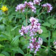 Buy  Oregano (Origanum vulgare) | Potted Herb Plant | Hooksgreen Herbs