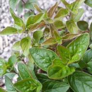 Buy Origanum vulgare 'Hot 'n spicy' Oregano 'Hot 'n Spicy'  new growth fresh growth in Spring