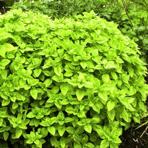Buy Origanum vulgare 'Gold Shine' Oregano Gold Shine | Herb Plant for Sale in 9cm Pot