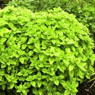 Buy Origanum vulgare 'Gold Shine' Oregano Gold Shine | Herb Plant for Sale in 9cm Pot