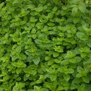 Buy Origanum onites 'Oregano Greek' | Herb Plant for Sale in 9cm Pot