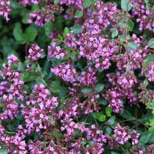 Buy Origanum laevigatum 'Hopleys' Oregano Hopley's Variety | Herb Plant for Sale in 1 Litre Pot