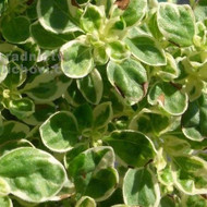Buy Origanum Vulgare 'Polyphant' Oregano Polyphant | Herb Plant for Sale in 9cm Pot