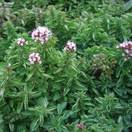 Buy Origanum vulgare 'Compactum' Oregano Compact | Herb Plant for Sale in 9cm Pot