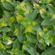 Buy Origanum 'Gold Splash' Oregano Gold Splash | Herb Plant for Sale in 9cm Pot