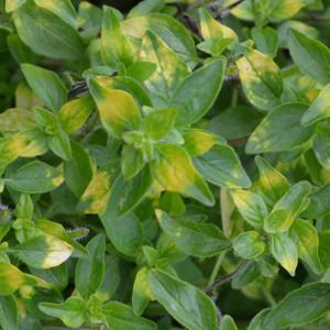 Buy Origanum 'Gold Splash' Oregano Gold Splash | Herb Plant for Sale in 9cm Pot