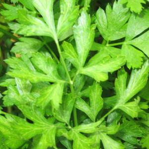 Buy Petroselinum crispum, Flat Leaf Parsley   Buy Herb Seeds Online