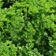 Buy  Triple Curled Parsley (Petroselinum crispum)   Buy Potted Herb Plants Online