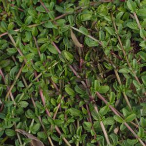 Buy Mentha pulegium , Pennyroyal Creeping | Herb Plant for Sale in 9cm Pot