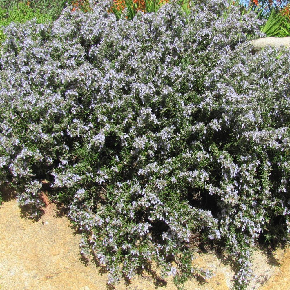 Picture of Live Creeping Rosemary aka Rosmarinus off. 'Prostratus' Plant Fit 1 Gallon Pot